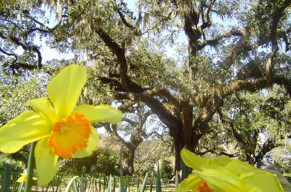 Beautiful yellow blooms at Brookgreen gardens