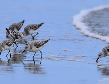 Sanderlings on Myrtle Beach in South Carolina
